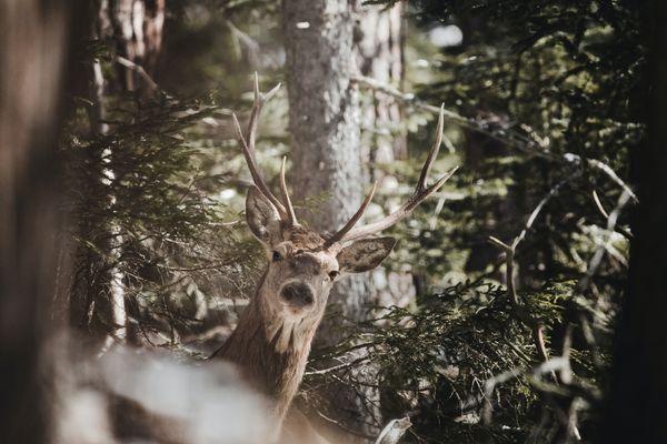 équilibres forêt-cervidés